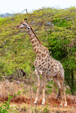 Awesome South Africa Collection - Giraffe V Photographic Print by Philippe Hugonnard