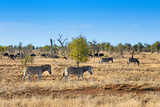 Awesome South Africa Collection - Zebras Herd on Savanna I Photographic Print by Philippe Hugonnard