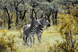 Awesome South Africa Collection - Two Burchell's Zebra Photographic Print by Philippe Hugonnard