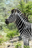 Awesome South Africa Collection - Burchell's Zebra X Photographic Print by Philippe Hugonnard