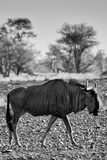 Awesome South Africa Collection B&W - Blue Wildebeest II Photographic Print by Philippe Hugonnard
