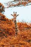 Awesome South Africa Collection - Giraffe in Red Trees II Photographic Print by Philippe Hugonnard