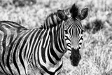Awesome South Africa Collection B&W - Close-up of Burchell's Zebra II Photographic Print by Philippe Hugonnard