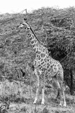 Awesome South Africa Collection B&W - Giraffe in the Savanna III Photographic Print by Philippe Hugonnard