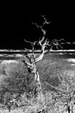 Awesome South Africa Collection B&W - Dead Tree Photographic Print by Philippe Hugonnard