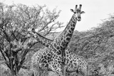 Awesome South Africa Collection B&W - Giraffe Mother and Young IV Photographic Print by Philippe Hugonnard