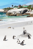 Awesome South Africa Collection - African Penguins at Boulders Beach IX Photographic Print by Philippe Hugonnard