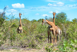 Awesome South Africa Collection - Four Giraffes in the Savanna Photographic Print by Philippe Hugonnard