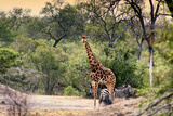 Awesome South Africa Collection - Giraffe and Burchell's Zebra in the Savanna Photographic Print by Philippe Hugonnard