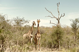 Awesome South Africa Collection - Two Giraffes I Photographic Print by Philippe Hugonnard