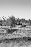 Awesome South Africa Collection B&W - Two Zebras on Savanna II Photographic Print by Philippe Hugonnard