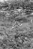 Awesome South Africa Collection B&W - Portrait of Giraffe Peering through Tree II Photographic Print by Philippe Hugonnard