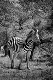 Awesome South Africa Collection B&W - Burchell's Zebra III Photographic Print by Philippe Hugonnard