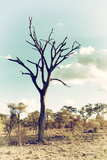 Awesome South Africa Collection - Savanna Tree III Photographic Print by Philippe Hugonnard
