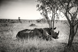 Awesome South Africa Collection B&W - Two White Rhinoceros Photographic Print by Philippe Hugonnard