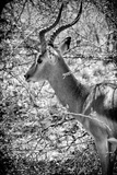 Awesome South Africa Collection B&W - Portrait of Impala Photographic Print by Philippe Hugonnard