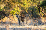 Awesome South Africa Collection - Hyena at Sunset Photographic Print by Philippe Hugonnard