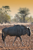 Awesome South Africa Collection - Blue Wildebeest at Sunset I Photographic Print by Philippe Hugonnard