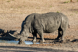 Awesome South Africa Collection - Black Rhinoceros II Photographic Print by Philippe Hugonnard