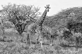 Awesome South Africa Collection B&W - Giraffe Mother and Young II Photographic Print by Philippe Hugonnard
