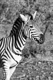 Awesome South Africa Collection B&W - Burchell's Zebra Photographic Print by Philippe Hugonnard