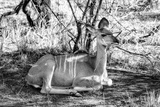 Awesome South Africa Collection B&W - Nyala Antelope Photographic Print by Philippe Hugonnard