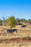 Awesome South Africa Collection - Zebras and Buffalo Herd on Savanna Photographic Print by Philippe Hugonnard