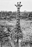 Awesome South Africa Collection B&W - Young Giraffe Photographic Print by Philippe Hugonnard