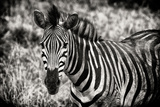 Awesome South Africa Collection B&W - Close-up of Burchell's Zebra Photographic Print by Philippe Hugonnard