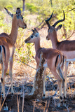 Awesome South Africa Collection - Impala Family I Photographic Print by Philippe Hugonnard