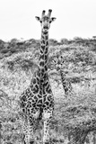 Awesome South Africa Collection B&W - Portrait of Two Giraffes I Photographic Print by Philippe Hugonnard