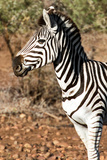 Awesome South Africa Collection - Young Burchell's Zebra Portrait I Photographic Print by Philippe Hugonnard