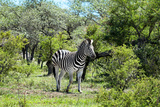 Awesome South Africa Collection - Burchell's Zebra II Photographic Print by Philippe Hugonnard