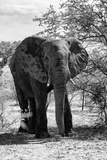 Awesome South Africa Collection B&W - African Elephant Portrait I Photographic Print by Philippe Hugonnard