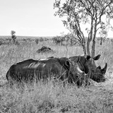 Awesome South Africa Collection Square - Two Rhinoceros sleeping B&W Fotografisk trykk av Philippe Hugonnard