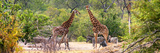Awesome South Africa Collection Panoramic - Giraffes and Burchell's Zebra Photographic Print by Philippe Hugonnard