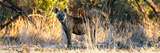 Awesome South Africa Collection Panoramic - Hyena at Sunrise Photographic Print by Philippe Hugonnard