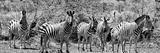 Awesome South Africa Collection Panoramic - Herd of Zebras B&W Photographic Print by Philippe Hugonnard