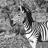 Awesome South Africa Collection Square - Burchell's Zebra Portrait B&W Photographic Print by Philippe Hugonnard