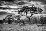 Awesome South Africa Collection B&W - African Landscape with Acacia Tree I Photographic Print by Philippe Hugonnard