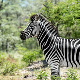 Awesome South Africa Collection Square - Zebra Portrait Photographic Print by Philippe Hugonnard
