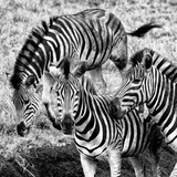 Awesome South Africa Collection Square - Three Zebras B&W Photographic Print by Philippe Hugonnard