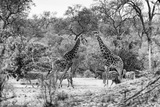 Awesome South Africa Collection B&W - Giraffes and Zebras in the Savanna Photographic Print by Philippe Hugonnard