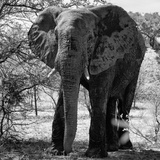 Awesome South Africa Collection Square - Elephant Portrait B&W Fotodruck von Philippe Hugonnard