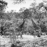 Awesome South Africa Collection Square - Two Giraffes and Herd of Zebras B&W Photographic Print by Philippe Hugonnard