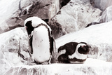 Awesome South Africa Collection - African Penguins II Photographic Print by Philippe Hugonnard