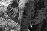 Awesome South Africa Collection B&W - African Elephant Portrait III Photographic Print by Philippe Hugonnard