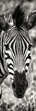 Awesome South Africa Collection Panoramic - Close-up Zebra Portrait II Reproduction photographique par Philippe Hugonnard