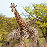 Awesome South Africa Collection Square - Crossing Giraffes II Photographic Print by Philippe Hugonnard