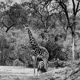 Awesome South Africa Collection Square - Giraffe and Herd of Zebras B&W Photographic Print by Philippe Hugonnard